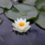 Lotus_Flower_sm