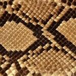snake skin segmeent