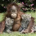 friends Chimp and tigers